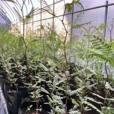 Prosopis trees growing in greenhouse